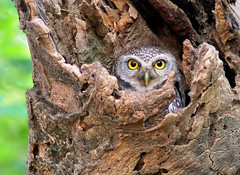 Spotted Owl (athena brama) photo by Thai pix Wildlife photography,,