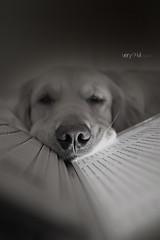 Laptop Doggy photo by VeryViVi