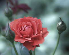 Love Is A Rose photo by -clicking-