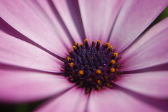 Pink Flower close up / macro photo by Claire Fun