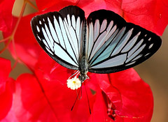 Red (butterfly) photo by Thai pix Wildlife photography,,