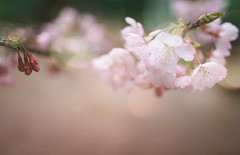 站在櫻花樹下的清晨 photo by twomeows (away...)