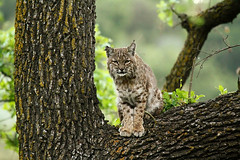 Santa Monica Mountain Bobcat photo by Jared Hughey