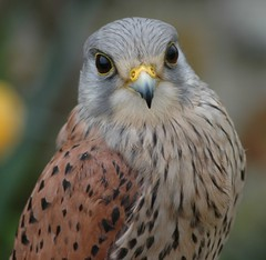 Kestrel portrait....Double competition winner! Thank you to everybody who voted for me! photo by Jacky4me( Gone to Ipernity)