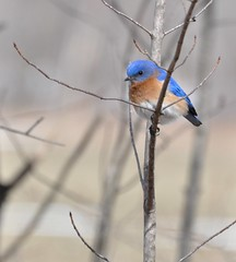 Yes, another Bluebird shot :) photo by dlv1