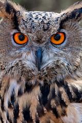 Owl photo by Giovanbattista Brancato