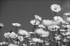 moon daisies in b/w photo by petalouda62