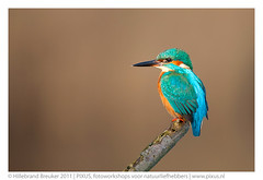 King fisher photo by Hillebrand Breuker