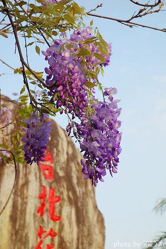 01_台北士林社子台北花卉村紫藤花
