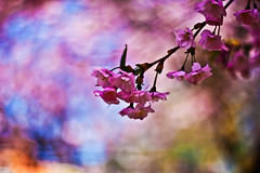 Cherry blossom and bokeh (explored) photo by Sina Farhat
