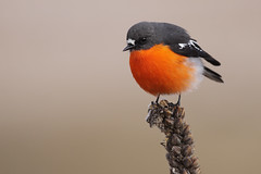 Flame Robin photo by 0ystercatcher