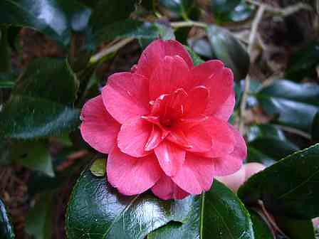C. japonica ssp. rusticana 'Nishiki Kirin'
