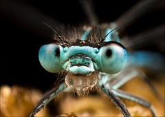 Damselfly_2962 photo by HiddenNature