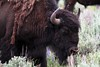 Teton Village is your gateway to Grand Teton and Yellowstone where you can see bison and more!