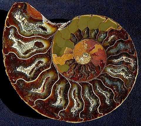 dating ammonite fossil
