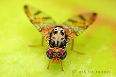 Mediterranean fruit fly - Ceratitis capitata photo by Nikola Rahme