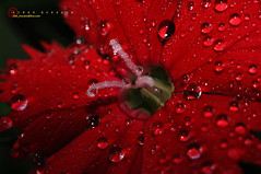 Red Devil  [don't know d real name of dis flower.. HELP plz] photo by Rifat Shakhawat Hossain