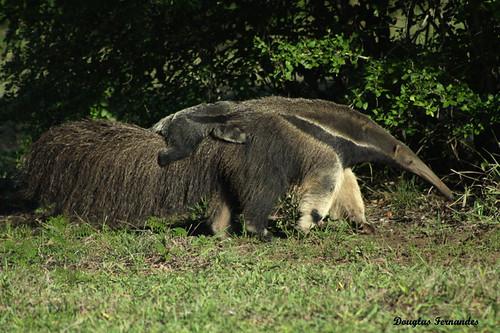 Myrmecophaga tridactyla ( Tamanduá-bandeira) - Giant anteater