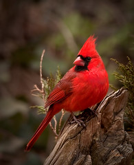 Cardinal photo by blair4bears