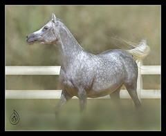 the beauty of the arabian horse photo by fatma.alrefaee