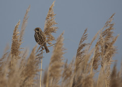 Reed Bunting photo by Ross M D
