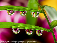 6 more drops photo by Royally Morphed Pythons