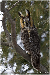 20110131-2072 Long Eared Owl photo by Earl Reinink