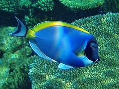 Underwater Maldives: Powderblue Surgeonfish close up photo by presbi