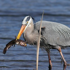 Amuse-gueule pour grand héron / A snack for a Great Blue Heron photo by Yves Déry