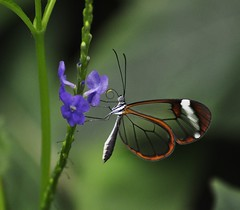 Glasswing Butterfly 2 (EXPLORED) photo by Lisa Karloo (Off, why bother?)