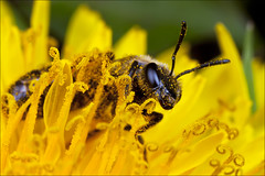 Solitary Bee_IMG_1311 photo by HiddenNature