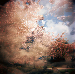 the frenzy of the sakura photo by manyfires
