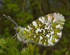 Orange Tip (Anthocharis cardamines) Male photo by Rezamink