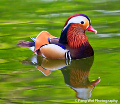 Mandarin Duck (male) photo by Feng Wei Photography
