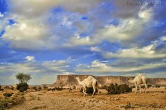 Camel HDR photo by TARIQ-M