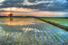 Rice fields at dusk photo by jyunbo