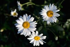 English Daisy_3995 photo by Mike Head - Jetwashphotos