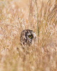 Short-eared Owl photo by m_Summers