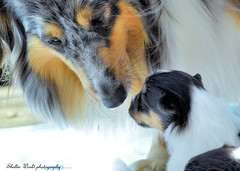 Love can be the most beautiful thing photo by Sheltie World
