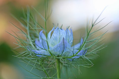 IMG_8639_Nigella photo by Julecu