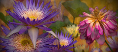 Waterlilies & Lotus photo by Reg Ramai