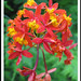 Fire Orchid