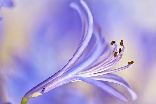 Agapanthus photo by Thelma Gatuzzo