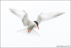 Common Tern photo by Earl Reinink