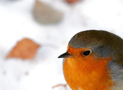 Macro Robin (snow and leaf bokeh) [Explored #5 - Front page] photo by Oliver C Wright