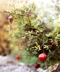 Pomegranate Christmas Tree photo by ·meisi·