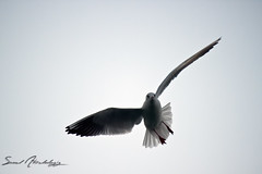 seagull || first try photo by سعود العقيل || saud alageel