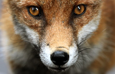 The face of Britains true preditor,Urban Red Fox, Bristol, Ian Wade photo by Disorganised Photographer - Ian Wade - Travel, Wil