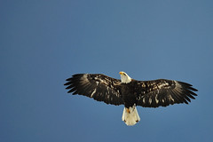 Another young bald eagle photo by jc-pics