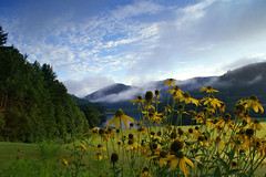 Black Eyed Susans at Townshend Lake - Townshend, VT photo by Jason Neely